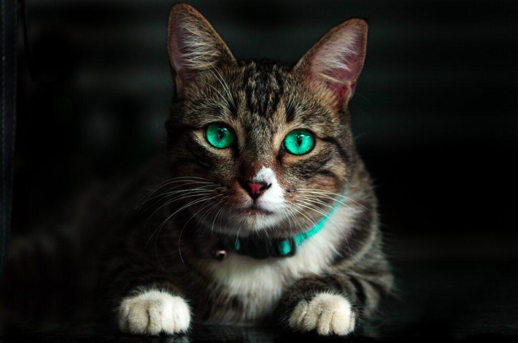 kot w obroży